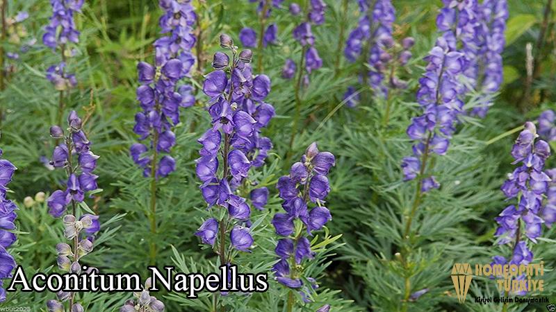 aconitum-napellus.jpg