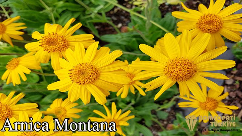 arnica-montana.jpg