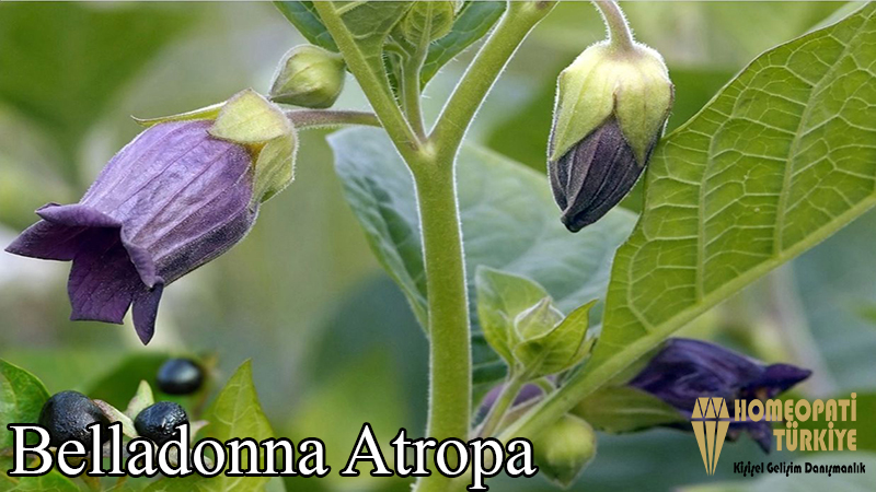 belladonna-atropa.jpg